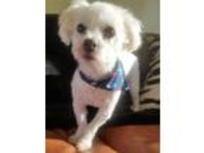 Adopt Corbin a White Bichon Frise / Mixed dog in Kansas City, MO (25578130)