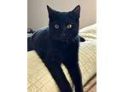 Adopt Lucas a All Black Domestic Shorthair / Mixed (short coat) cat in Glendale