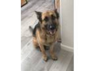 Adopt Harley a Black - with Tan, Yellow or Fawn German Shepherd Dog dog in