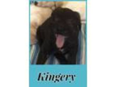 Adopt Kingery a Black - with White Labrador Retriever / Mixed dog in Crum Lynne
