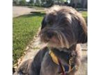 Adopt *Bentley a Brown/Chocolate Havanese / Mixed dog in Friendswood