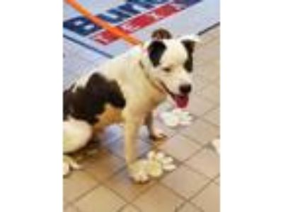 Adopt Romeo a White Border Collie / American Pit Bull Terrier / Mixed dog in