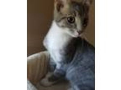 Adopt Jeff a Gray, Blue or Silver Tabby Domestic Shorthair (short coat) cat in