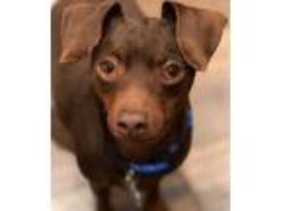 Adopt Dash a Miniature Pinscher