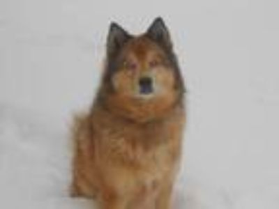 Adopt Max a Red/Golden/Orange/Chestnut Husky / Collie / Mixed dog in Casa