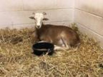 Adopt 41681268 a Sheep / Sheep / Mixed farm-type animal in Frederick