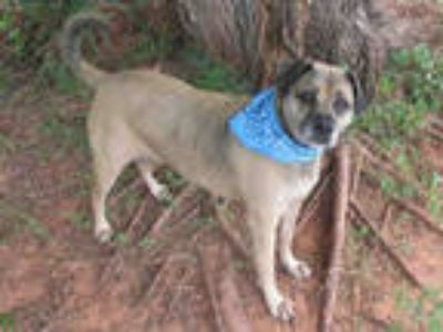 Adopt BAYLE a Brown/Chocolate - with Black Beagle / Mixed dog in Oklahoma City