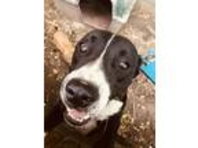Adopt Chop a Black - with White American Pit Bull Terrier / Hound (Unknown Type)