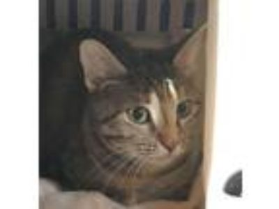 Adopt Mother Teresa a Domestic Short Hair