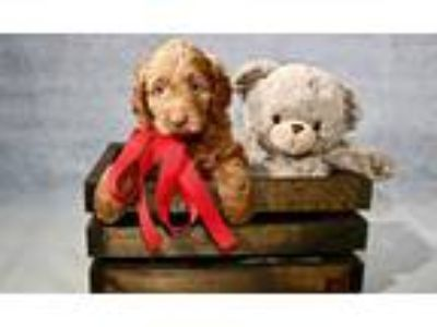 Goldendoodle Puppies 1,500