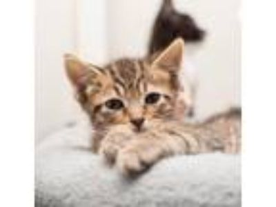 Adopt Tiger a Brown or Chocolate Domestic Shorthair cat in Los Angeles