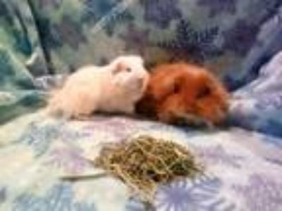 Adopt Ghost and Komodo a Guinea Pig, Teddy