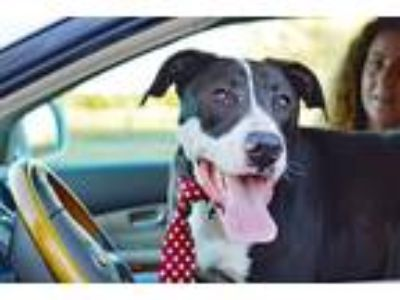 Adopt BON JOVI a Black - with White Great Dane / Mixed dog in Denton