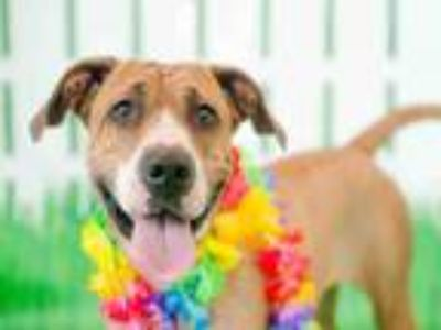 Adopt CHAMELEON a Boxer, Mixed Breed