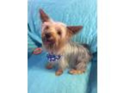 Adopt Huxby a Yorkshire Terrier
