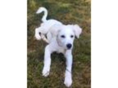 Adopt Wyatt a Great Pyrenees