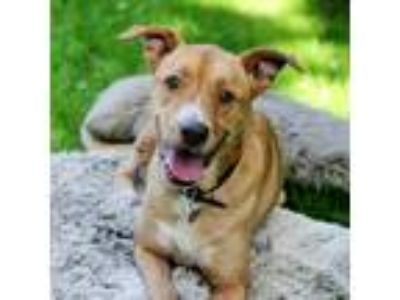 Adopt Roxanne - WATCH MY VIDEO! a Boxer, Labrador Retriever