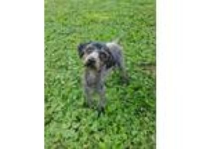 Adopt Uno a Gray/Blue/Silver/Salt & Pepper Poodle (Miniature) / Mixed dog in