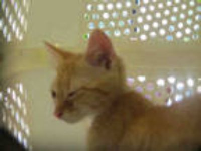 Adopt *LICORICE a Orange or Red Tabby Domestic Shorthair / Mixed (short coat)