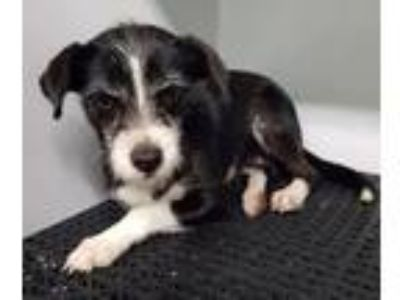 Adopt MITTENS a Black - with White Border Terrier / Mixed dog in Point Pleasant