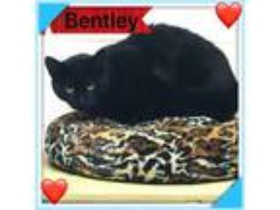 Adopt Gal Friday and Bently a Torbie