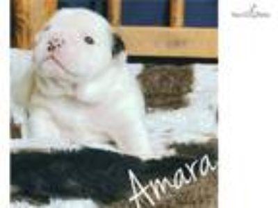 Amara English Bulldog