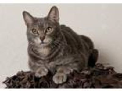 Adopt Reeko a Gray, Blue or Silver Tabby Domestic Shorthair (short coat) cat in