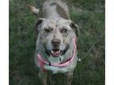 Adopt Abby a Catahoula Leopard Dog