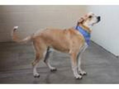 Adopt Captain a Tan/Yellow/Fawn Labrador Retriever / Mixed dog in McKinney