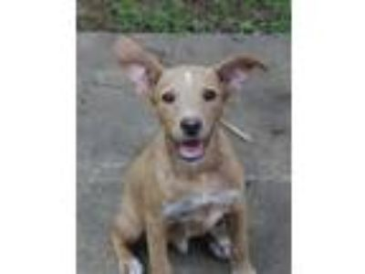 Adopt Archie a Tan/Yellow/Fawn - with White Shepherd (Unknown Type) / Mixed dog