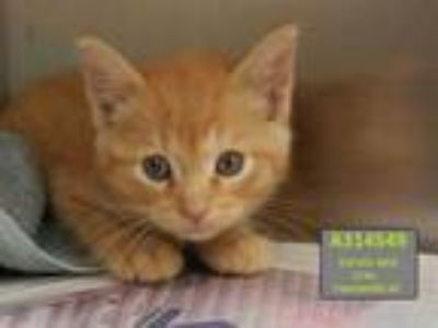 Adopt CHANDLER a Orange or Red Tabby Domestic Shorthair / Mixed (short coat) cat