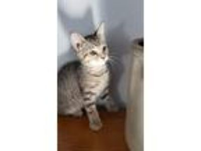 Adopt Pepper a Brown Tabby Domestic Shorthair (short coat) cat in Whitehall