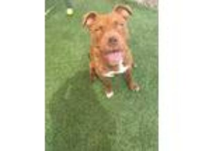 Adopt CHUBBS a Red/Golden/Orange/Chestnut American Pit Bull Terrier / Mixed dog