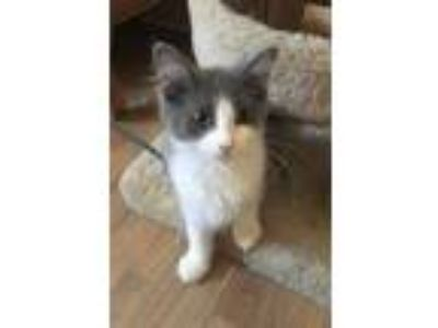 Adopt Whoppers a Gray or Blue (Mostly) Domestic Mediumhair (medium coat) cat in