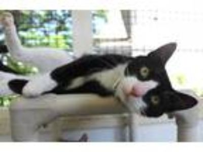 Adopt Guwop a All Black Domestic Shorthair / Domestic Shorthair / Mixed cat in