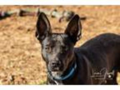 Adopt Jack a Australian Cattle Dog / Blue Heeler, Black Labrador Retriever