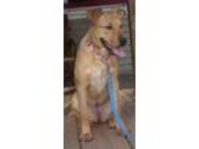 Adopt Callie (Wonderful Family Pup) a Shepherd, Labrador Retriever
