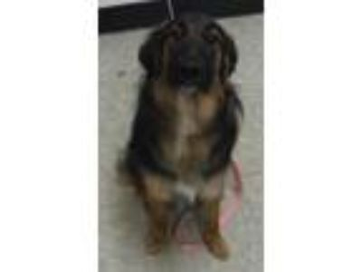 Adopt Sophie a Shepherd (Unknown Type) / Mixed dog in Silverdale, WA (25551207)