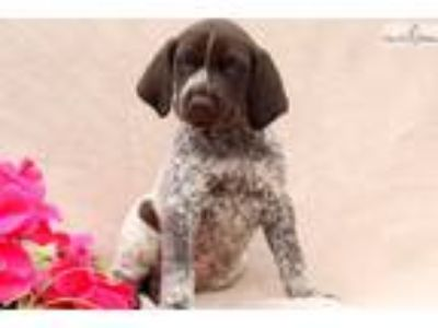 Tootsie - German Shorthaired Pointer Female