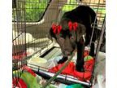 Adopt SISSY a Black Labrador Retriever