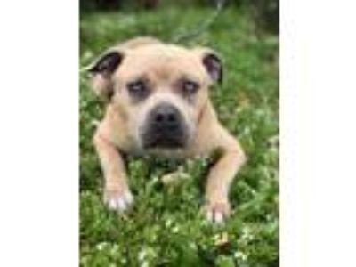 Adopt Spike a Staffordshire Bull Terrier, Labrador Retriever