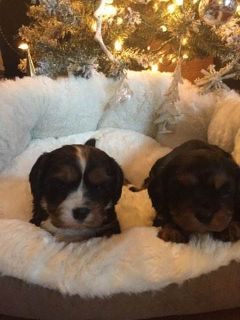 Cavalier King Charles Spaniel PUPPY FOR SALE ADN-56355 - Champion Blood Line Cavalier King Charles Puppies