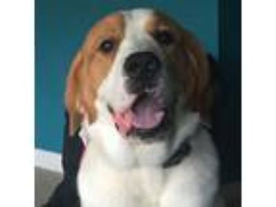 Adopt Brody a Saint Bernard, Golden Retriever