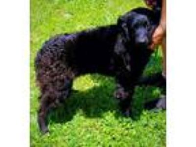 Adopt Doyle a Border Collie, Curly-Coated Retriever
