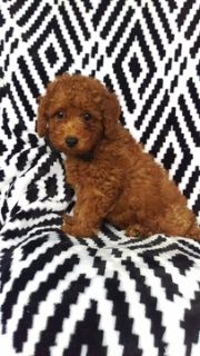 Poodle (Standard) PUPPY FOR SALE ADN-99010 - Riley the Mini Poodle