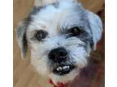 Adopt Fabio a Black - with White Shih Tzu / Mixed dog in Indianapolis
