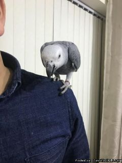 Talking African Grey Parrots For Xmas