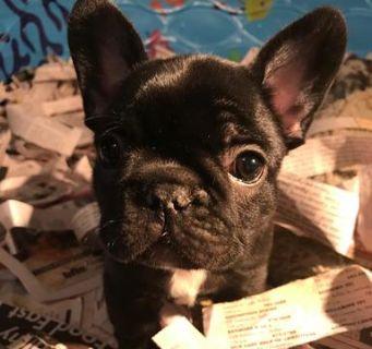 French Bulldog PUPPY FOR SALE ADN-78104 - Oprah
