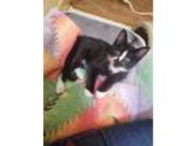Adopt Dexter a All Black Domestic Shorthair / Domestic Shorthair / Mixed cat in