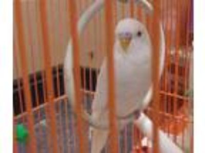 Adopt Persila a White Parakeet - Other / Parakeet - Other / Mixed bird in Reno